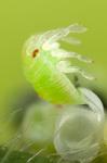Grüne Stinkwanze schlüpft aus Ei