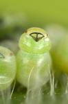 Grüne Stinkwanze schlüpft aus ihrem Ei