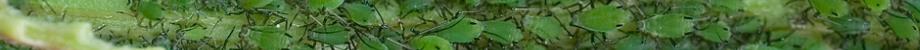 Blattlauskolonie grüner Blattläuse saugend an Pflanze